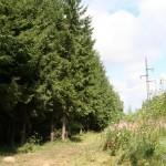 Молодой еловый лес в окрестностях Дружбы