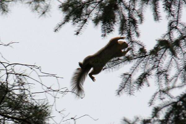 Белка в парке в прыжке