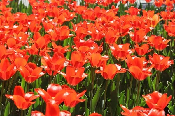 Тюльпаны на площади в Домодедово