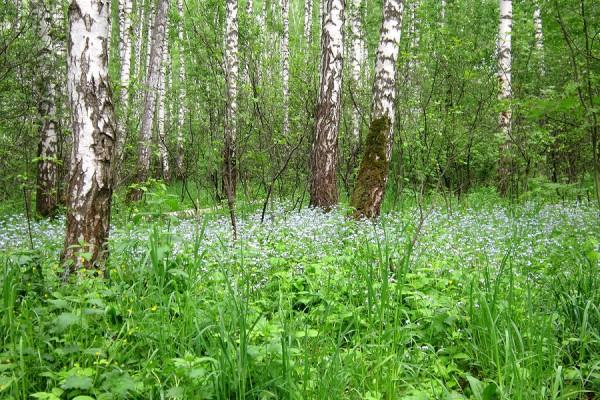 Прекрасный подмосковный лес