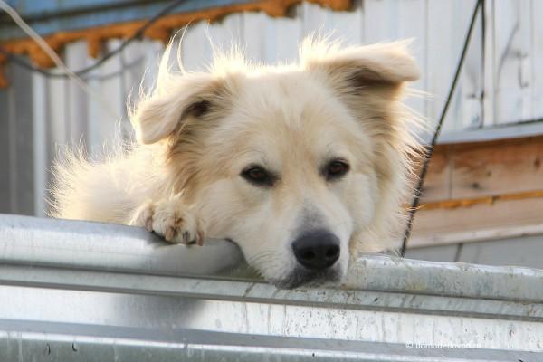 Гюнайская сторожевая собака