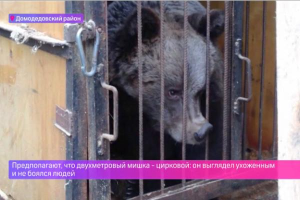 Медведь в Домодедово