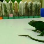 Спаниель Кира задержала ящериц и хамелеонов