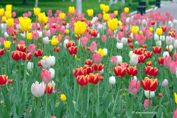 Тюльпаны в Домодедово