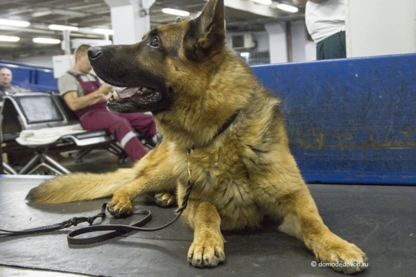 Служебный пес. Домодедовская таможня