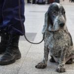 Служебная собака в аэропорту ДомодедовоСлужебная собака в аэропорту Домодедово