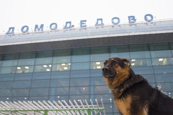Овчарка кинологической службы аэропорта Домодедово